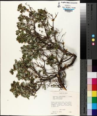 Lonicera albiflora image