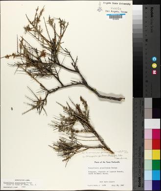 Glossopetalon spinescens image