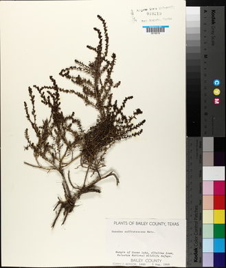 Suaeda suffrutescens image