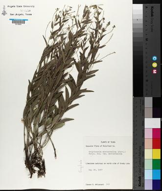 Argythamnia mercurialina image