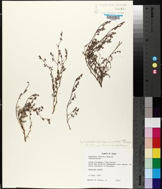Chamaesyce theriaca image