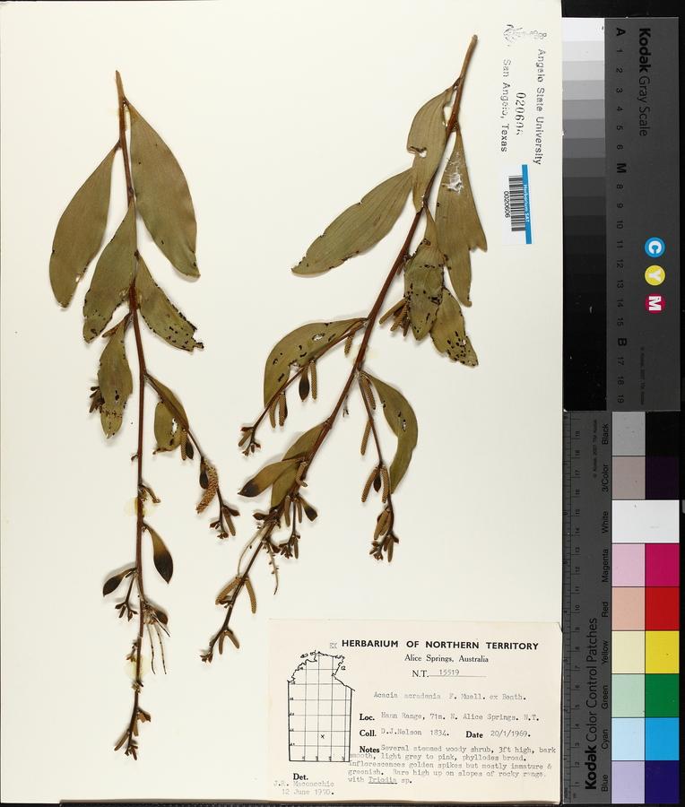 Acacia acradenia image