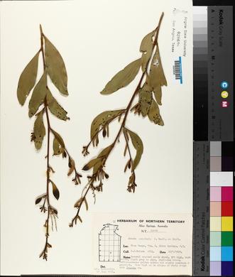 Image of Acacia acradenia