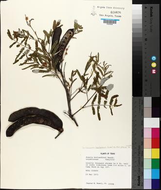 Acacia berlandieri image
