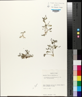 Astragalus nuttallianus image