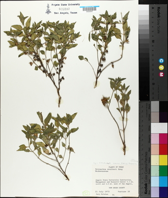 Clerodendrum coulteri image