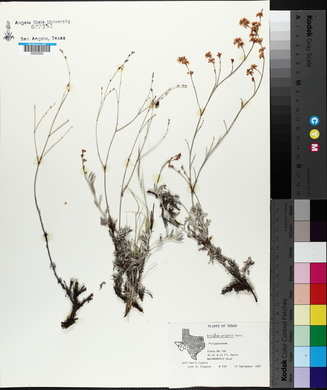 Eriogonum wrightii image