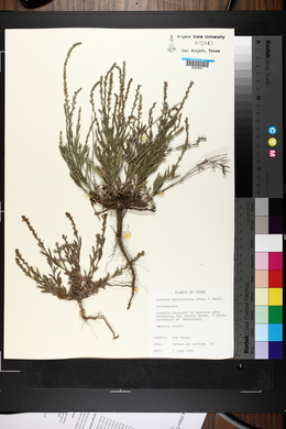 Verbena neomexicana image