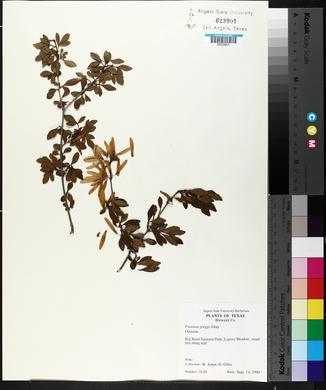 Fraxinus greggii image