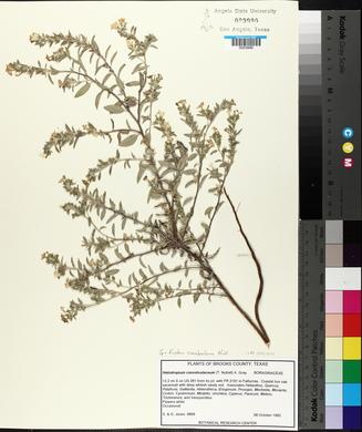 Heliotropium convolvulaceum var. convolvulaceum image