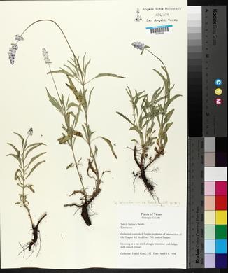 Salvia farinacea image