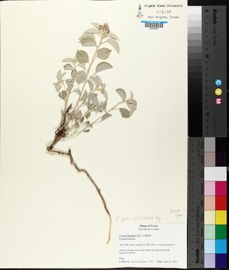Croton pottsii image