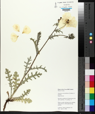 Argemone polyanthemos image