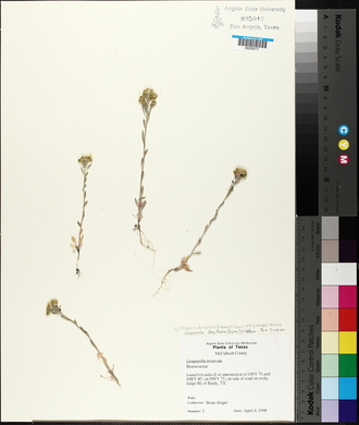 Physaria densiflora image