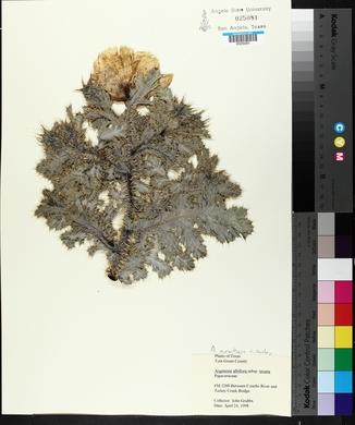 Argemone aurantiaca image