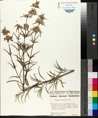 Monarda viridissima image