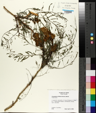 Caesalpinia gilliesii image
