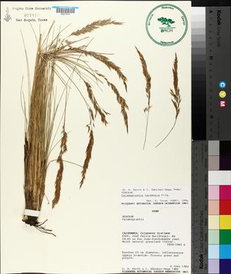 Image of Calamagrostis tarmensis