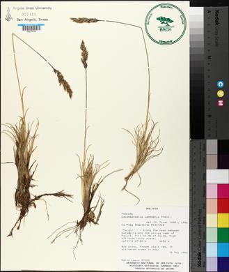 Image of Calamagrostis jamesonii