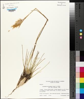 Image of Cortaderia sericantha
