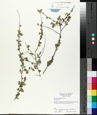 Ayenia microphylla image
