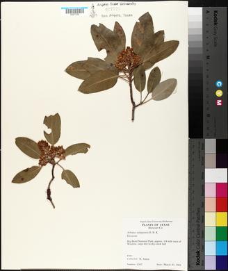 Arbutus xalapensis image