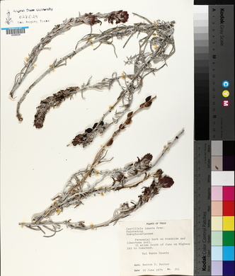 Castilleja lanata image