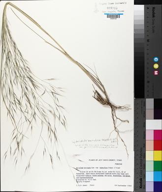 Aristida ternipes var. gentilis image