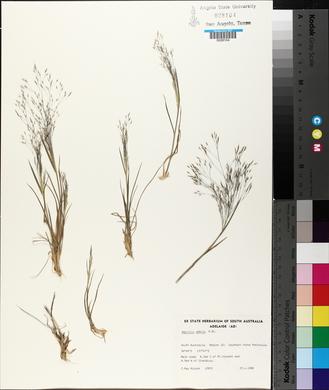 Image of Lachnagrostis aemula