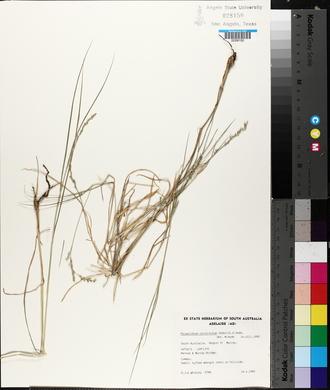 Image of Setaria constricta