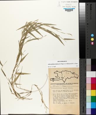 Image of Arthrostylidium haitiense