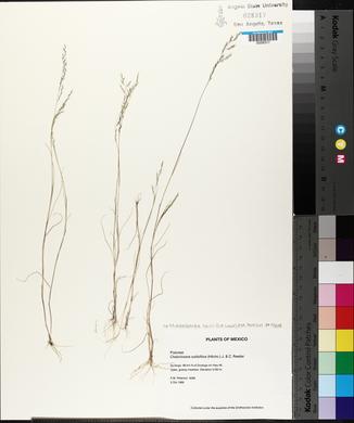 Image of Muhlenbergia solisii