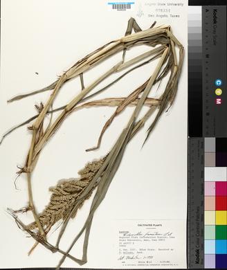 Echinochloa frumentacea image