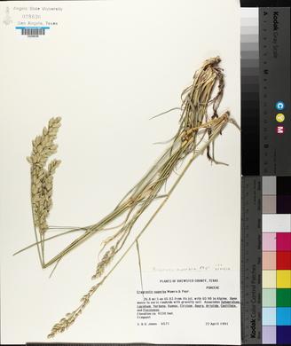 Eragrostis superba image