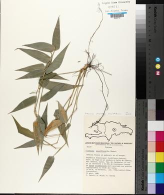 Lithachne pauciflora image