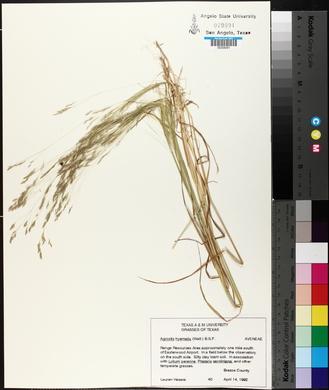 Agrostis hyemalis image