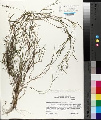 Muhlenbergia cenchroides image