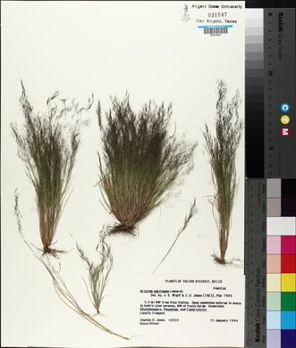 Aristida capillacea image
