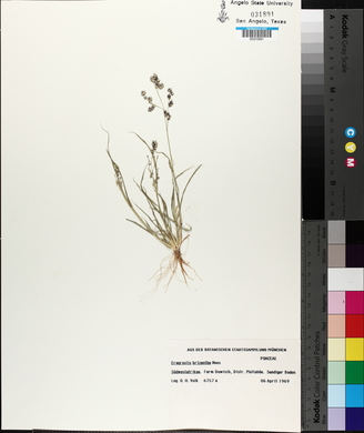 Image of Eragrostis brizantha