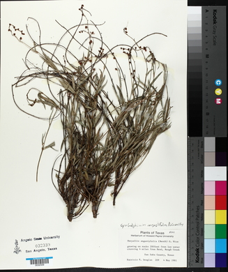 Galphimia angustifolia image