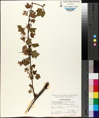 Ribes ciliatum image
