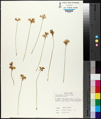 Utricularia cornuta image
