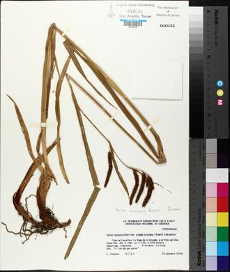 Image of Carex acutata