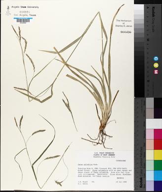 Carex sylvatica image