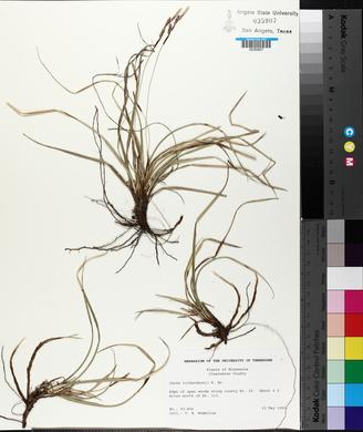 Carex richardsonii image