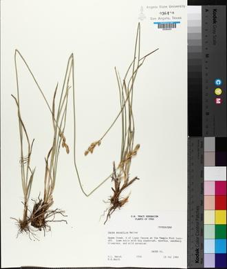 Carex xerantica image