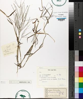 Image of Digitaria nuda