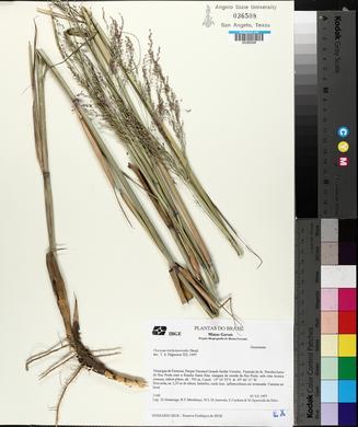 Image of Panicum tricholaenoides