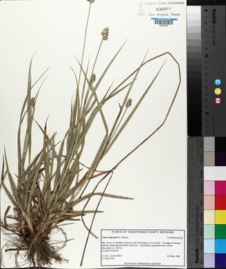 Carex spicata image
