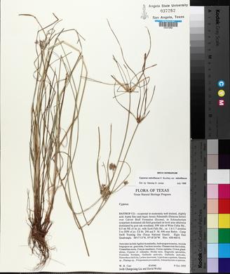Cyperus retroflexus image
